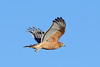 RED-SHOULDERED HAWK on the wing.  Later afternoon sun reflects detail of the beautiful wing feather patterns.  Just breathtaking !