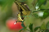 Tiger Swallowtail resting on Lime tree branch