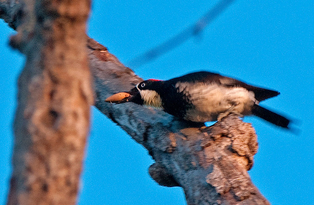 ACORN WOODPECKER with Acorn!